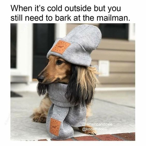 Photo caption - When it's cold outside but you still need to bark at the mailman. @americandoxie @knoxthedox