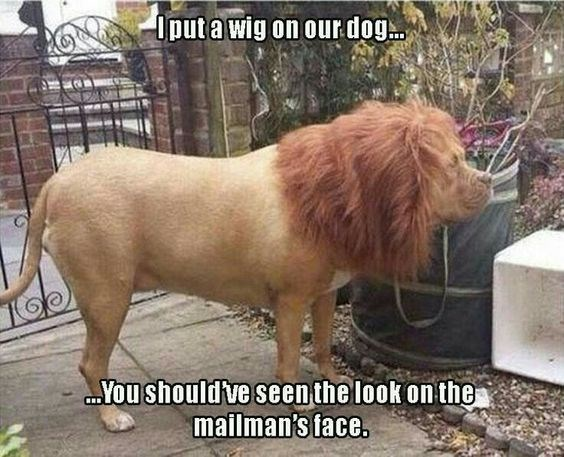Mammal - Iputawig on our.dog Youshould ve seenthe look on the mailman's face.