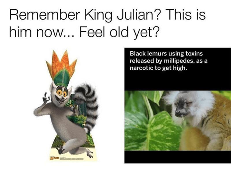 dank meme - Lemur - Remember King Julian? This is him now... Feel old yet? Black lemurs using toxins released by millipedes, narcotic to get high. as a
