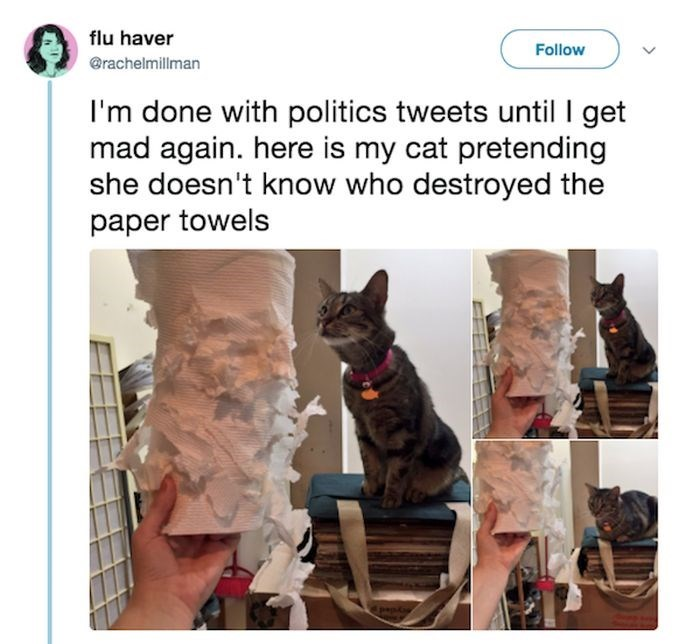 Canidae - flu haver Follow @rachelmillman I'm done with politics tweets until I get mad again. here is my cat pretending she doesn't know who destroyed the paper towels