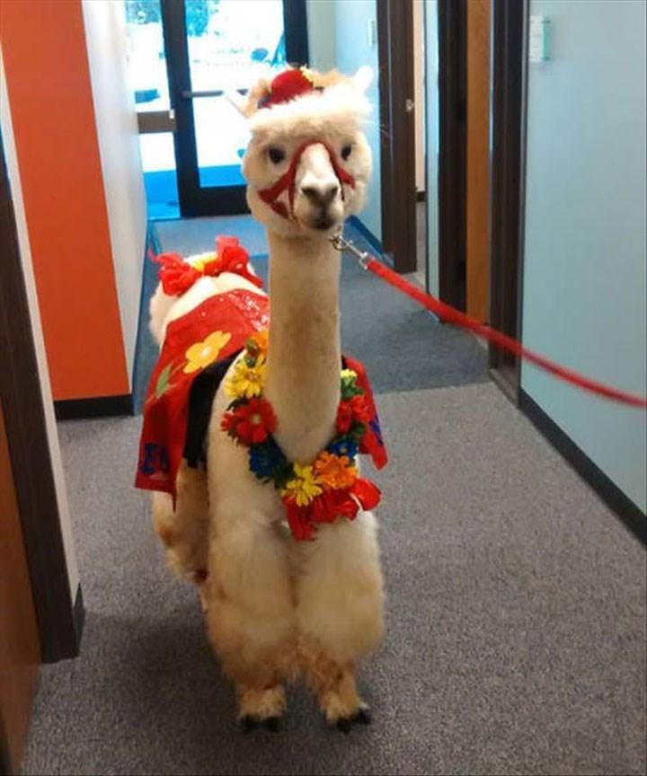 weird animal - Camelid