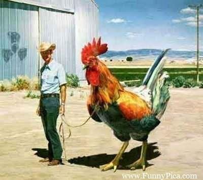 Chicken - www.FunnyPica.com