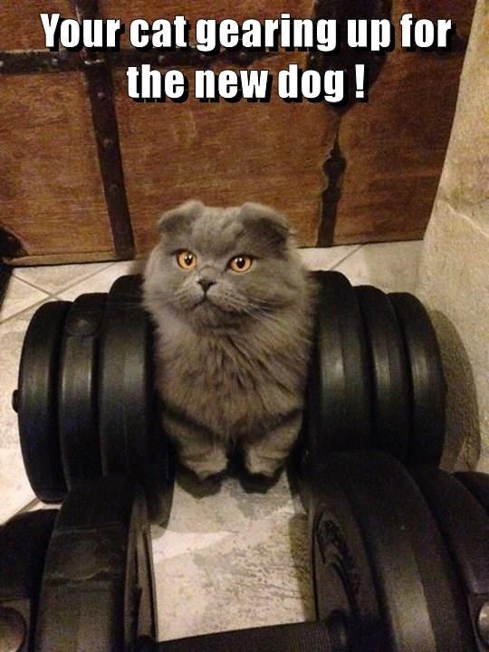 meme - Cat - Your cat gearing up for the new dog!