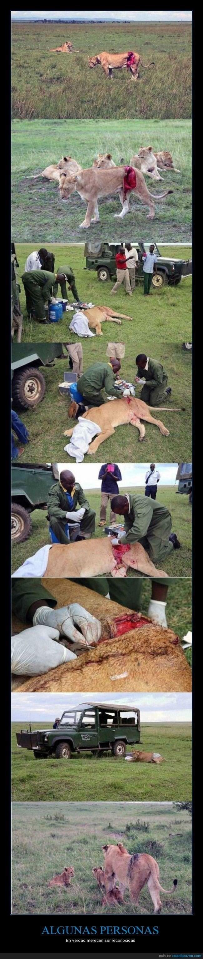 leon en africa es anestesiado y curado