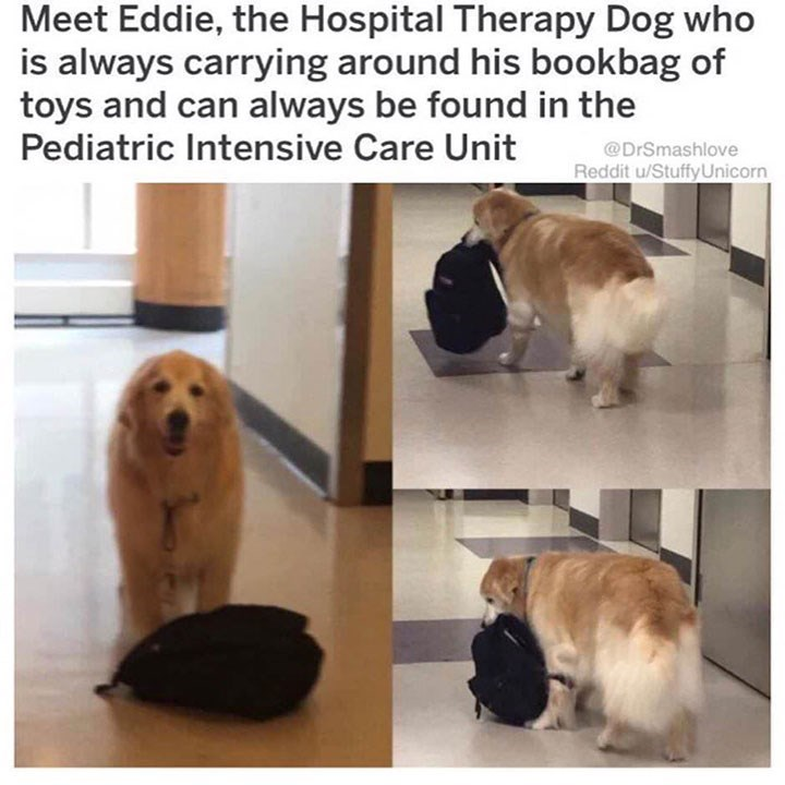 Dog - Meet Eddie, the Hospital Therapy Dog who is always carrying around his bookbag of toys and can always be found in the Pediatric Intensive Care Unit @DrSmashlove Reddit u/StuffyUnicorn
