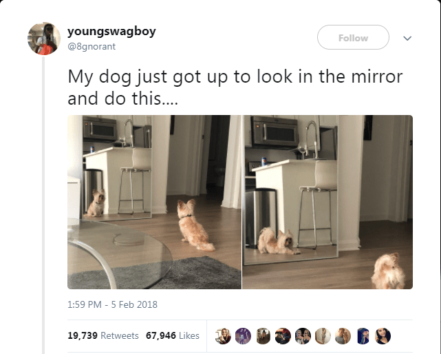 Product - youngswagboy Follow @8gnorant My dog just got up to look in the mirror and do this... 1:59 PM - 5 Feb 2018 19,739 Retweets 67,946 Likes