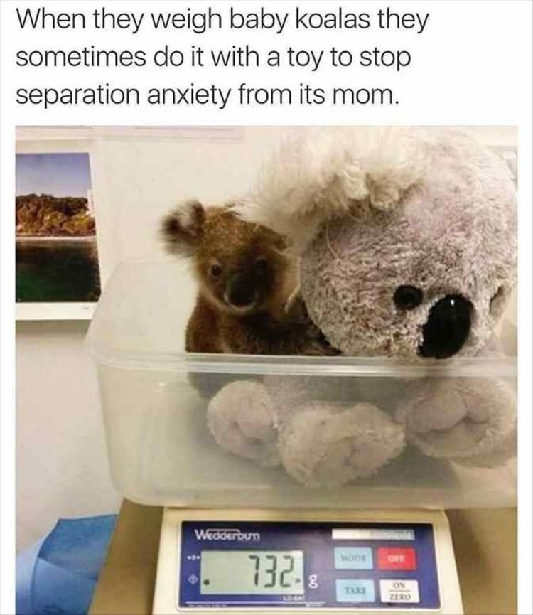 Teddy bear - When they weigh baby koalas they sometimes do it with a toy to stop separation anxiety from its mom. Weoderbun 732 MODS ON TAR ZERO LDST
