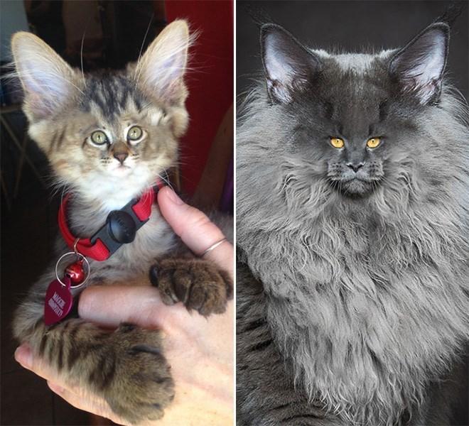 photoshopped small face - Cat - MIG