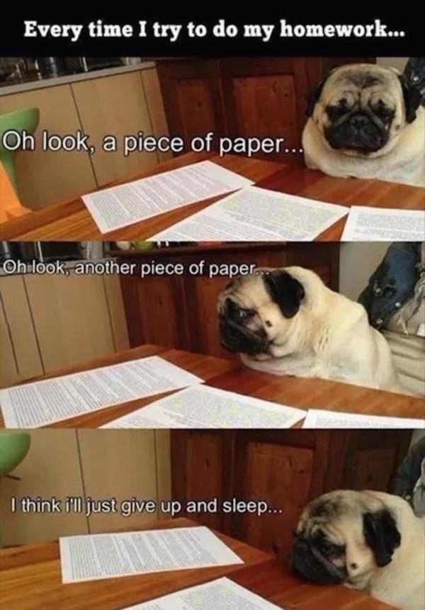 Pug - Every time I try to do my homework... Oh look, a piece of paper... Ohilook, another piece of paper think ill just give up and sleep...