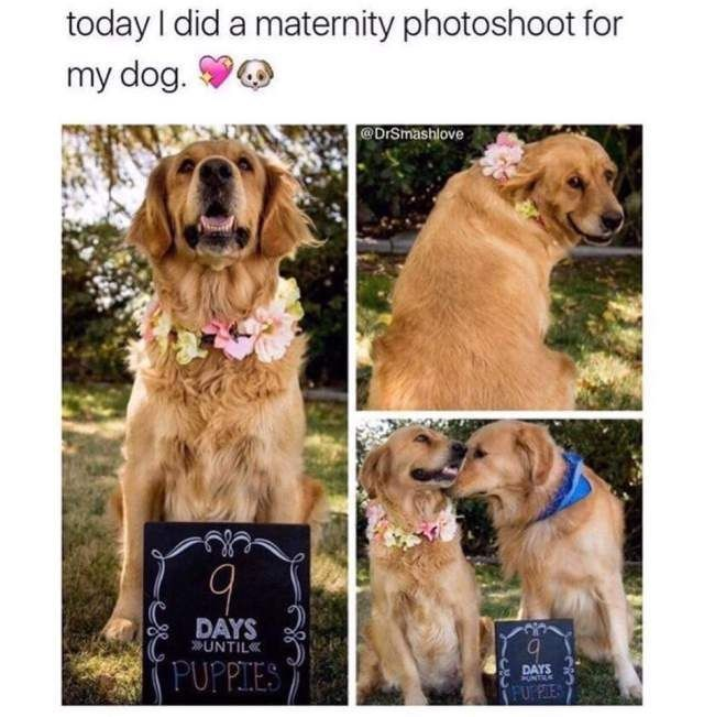 Dog - today I did a maternity photoshoot for my dog. @DrSmashlove DAYS UNTIL PUPPIES DAYS NTRE FURFLES