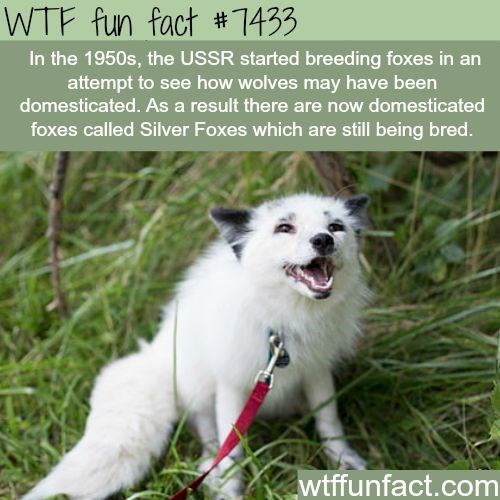 fox facts - Mammal - WTF fun fact #7433 In the 1950s, the USSR started breeding foxes in an attempt to see how wolves may have been domesticated. As a result there are now domesticated foxes called Silver Foxes which are still being bred. wtffunfact.com