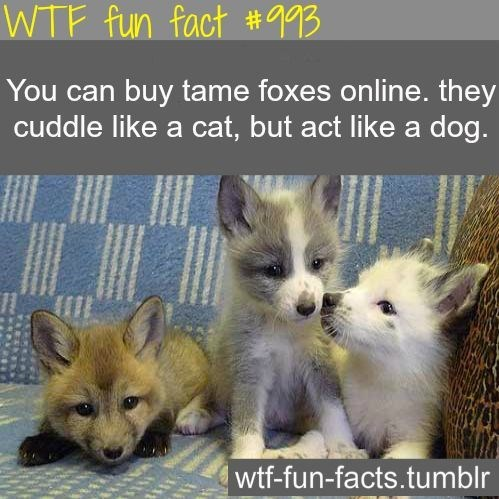 fox facts - Mammal - WTF fun fact #993 You can buy tame foxes online. they cuddle like a cat, but act like a dog. wtf-fun-facts.tumblr