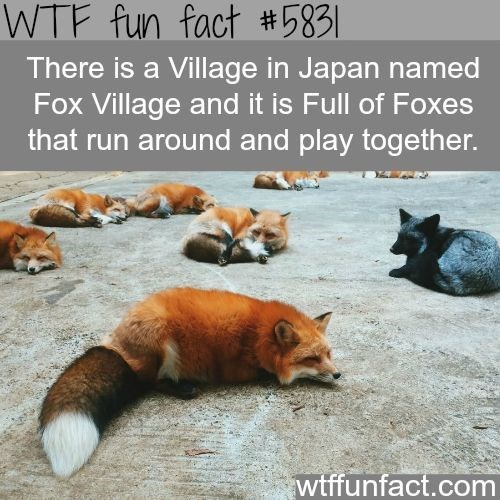 fox facts - Red fox - WTF fun fact #5831 There is a Village in Japan named Fox Village and it is Full of Foxes that run around and play together. wtffunfact.com