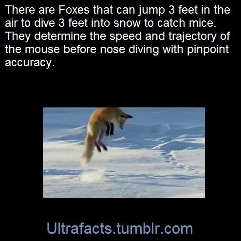 fox facts - Organism - There are Foxes that can jump 3 feet in the air to dive 3 feet into snow to catch mice. They determine the speed and trajectory of the mouse before nose diving with pinpoint accuracy. Ultrafacts.tumblr.com