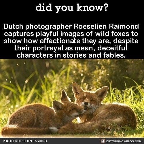 fox facts - Wildlife - did you know? Dutch photographer Roeselien Raimond captures playful images of wild foxes to show how affectionate they are, despite their portrayal as mean, deceitful characters in stories and fables. PHOTO: ROESELIEN RAIMOND DIDYOUKNOWBLOG.COM