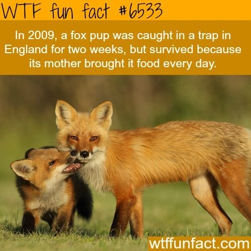fox facts - Mammal - WTF fun fact #533 In 2009, a fox pup was caught in a trap in England for two weeks, but survived because its mother brought it food every day. wtffunfact.com