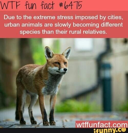 fox facts - Vertebrate - WTF fun fact #0415 Due to the extreme stress imposed by cities, urban animals are slowly becoming different species than their rural relatives. wtffunfact.com ifunny.ce