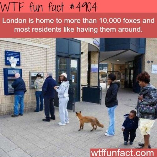 fox facts - Dog - WTF fun fact #4904 London is home to more than 10,000 foxes and most residents like having them around. wtffunfact.com