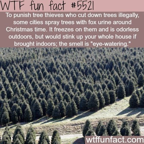 """fox facts - Tree - WTF fun fact #5521 To punish tree thieves who cut down trees illegally, some cities spray trees with fox urine around Christmas time. It freezes on them and is odorless outdoors, but would stink up your whole house if brought indoors; the smell is """"eye-watering."""" wtffunfact.com"""