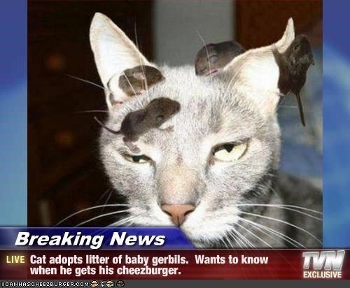 Cat - Breaking News TYN LIVE Cat adopts litter of baby gerbils. Wants to know when he gets his cheezburger. EXCLUSIVE ICANHASCHEE2BURGER COM
