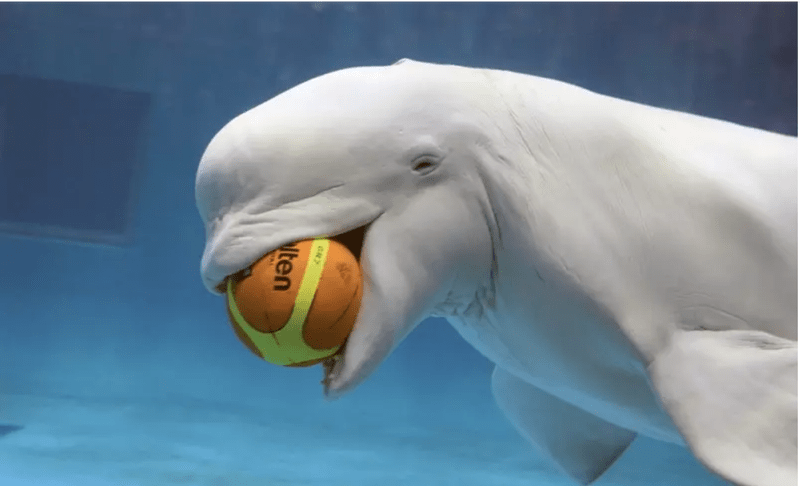 Beluga whale photos