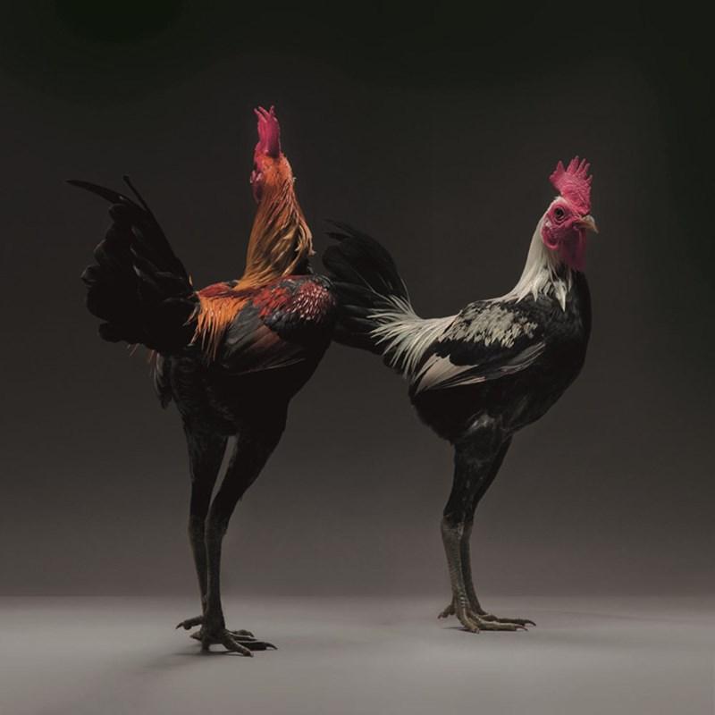 beautiful chickens - Chicken