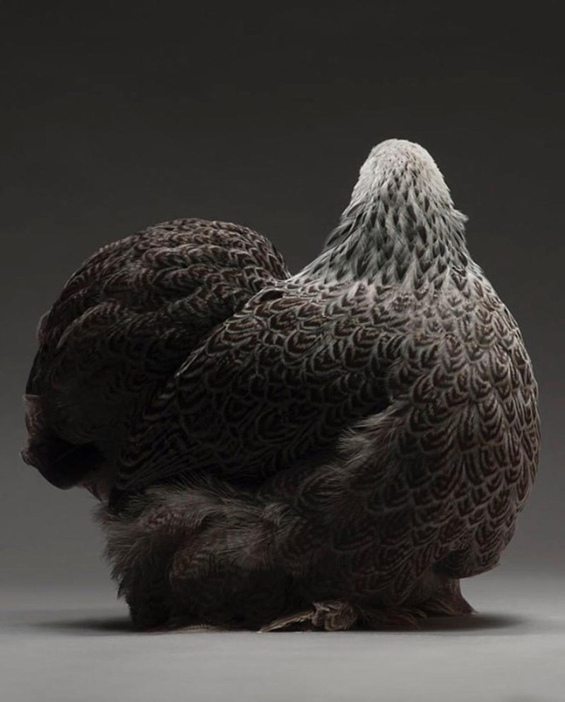 beautiful chickens - Bird