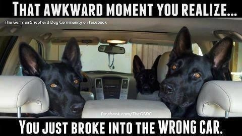 Dog - THAT AWKWARD MOMENT YOU REALIZE... The German Shepherd Dag Community on facebook fecebook.com/TheGSDC You JUST BROKE INTO THE WRONG CAR.