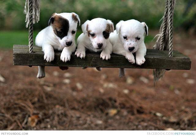 puppies in swings - Dog - FA CEBOOK.COM/PETYOURDOG PETYOURDOG.COM