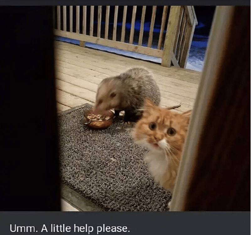 The Adorable Story Of A Possum Stealing A Confused Cats Food I