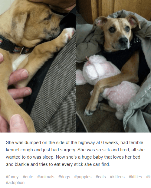 Dog breed - She was dumped on the side of the highway at 6 weeks, had terrible kennel cough and just had surgery. She was so sick and tired, all she wanted to do was sleep. Now she's a huge baby that loves her bed and blankie and tries to eat every stick she can find. #funny #cute #animals #dogs #puppies #cats #kittens #kitties #c #adoption