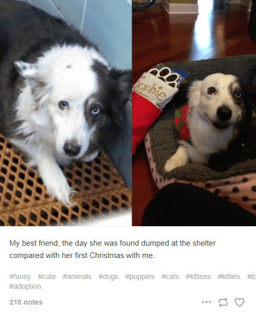 Dog - Scphie My best friend, the day she was found dumped at the shelter compared with her first Christmas with me #funny #cute #animals #dogs #puppies #cats #kittens #kitties #lc #adoption 210 notes