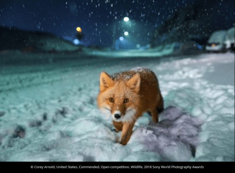 Canidae - O Corey Arnold, United States, Commended, Open competition, Wildlife, 2018 Sony World Photography Awards