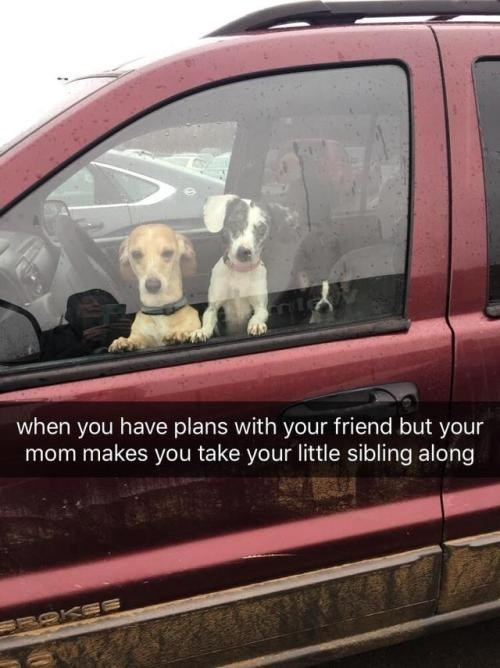 positive Thrusday meme about having young siblings with pic of small dogs sitting in car
