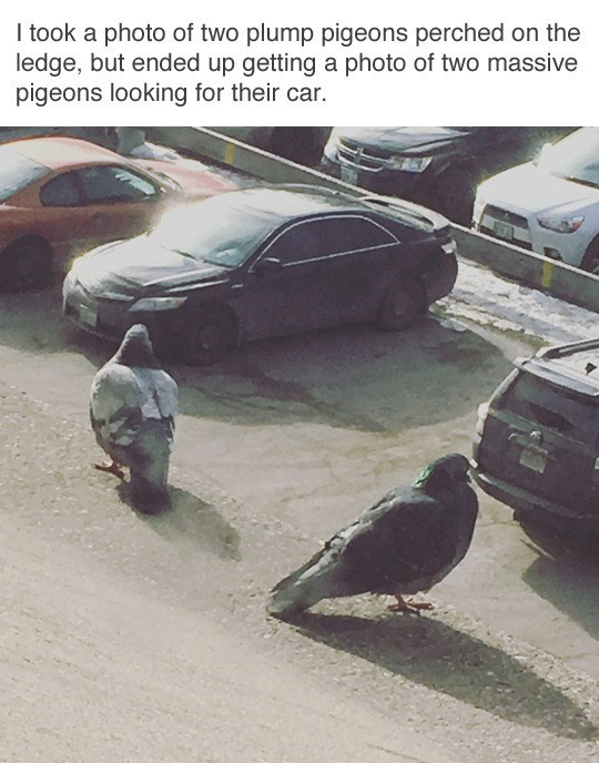 Funny meme about pigeons.