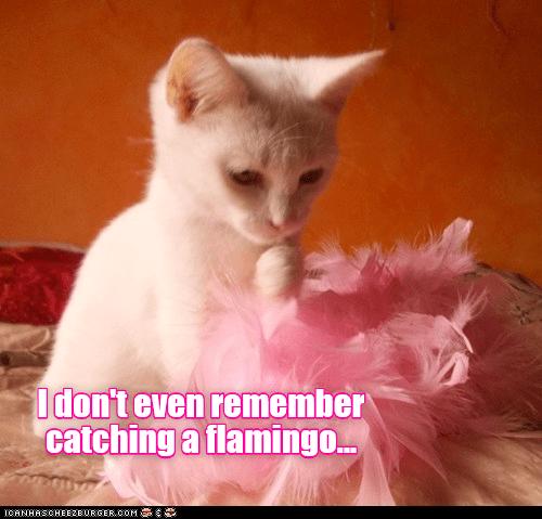 Cat - Idon't even remember catching a flamingo. ICANHASCHEE2EURGER cOM