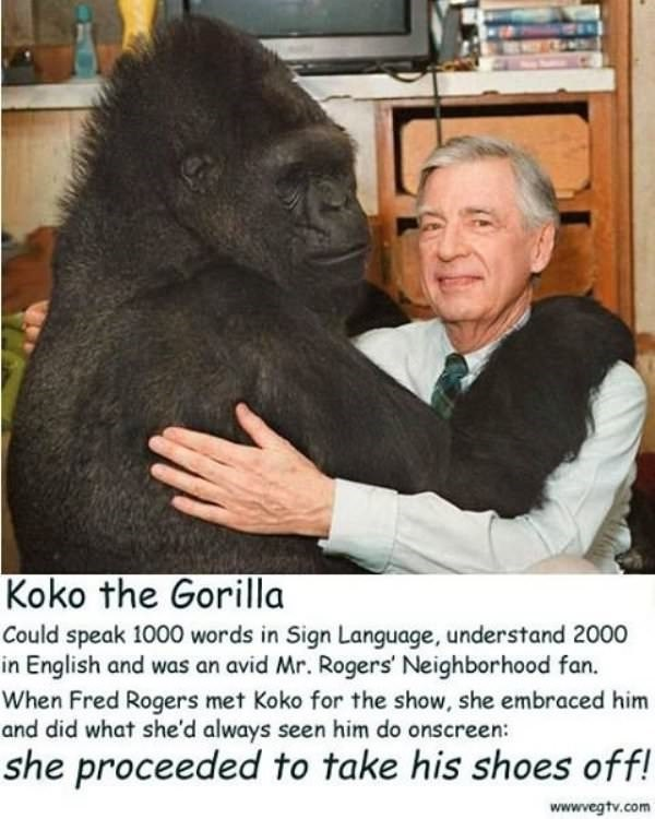 Photo caption - Koko the Gorilla Could speak 1000 words in Sign Language, understand 2000 in English and was an avid Mr. Rogers' Neighborhood fan. When Fred Rogers met Koko for the show, she embraced him and did what she'd always seen him do onscreen: she proceeded to take his shoes off! wwwvegtv.com