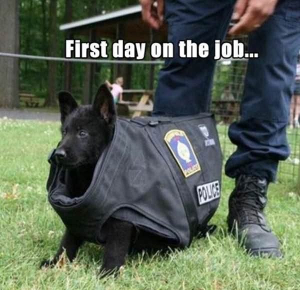 dog meme of a dogs police outfit that is too big