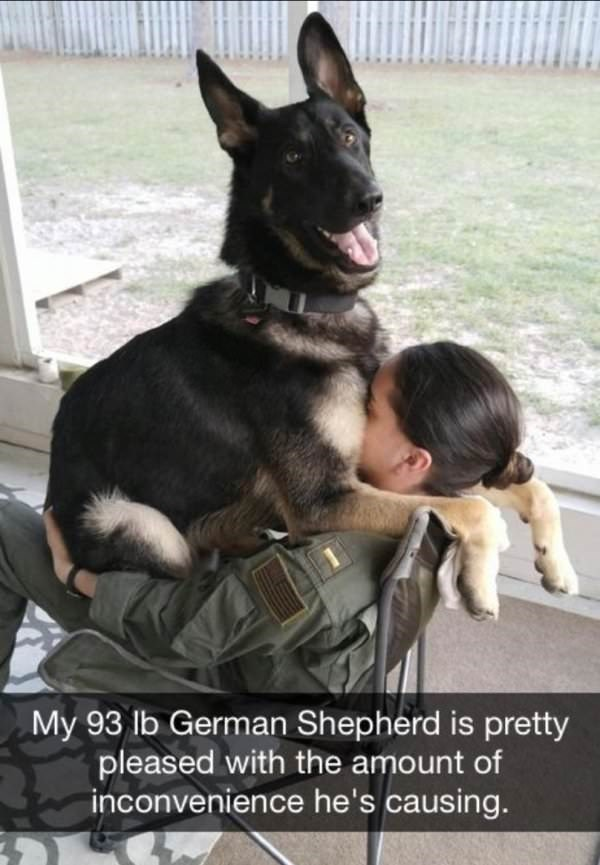 dog meme of a German Sheppard sitting on a soldiers lap