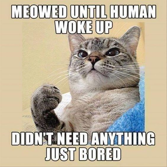 Cat - MEOWED UNTIL HUMAN WOKE UP DIDNT NEED ANYTHING JUST BORED