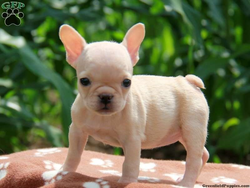 Dog - GEP GreenfieldPuppies.com