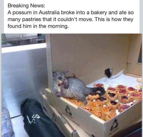 meme - Gerbil - Breaking News: A possum in Australia broke into a bakery and ate so many pastries that it couldn't move. This is how they found him in the morning.