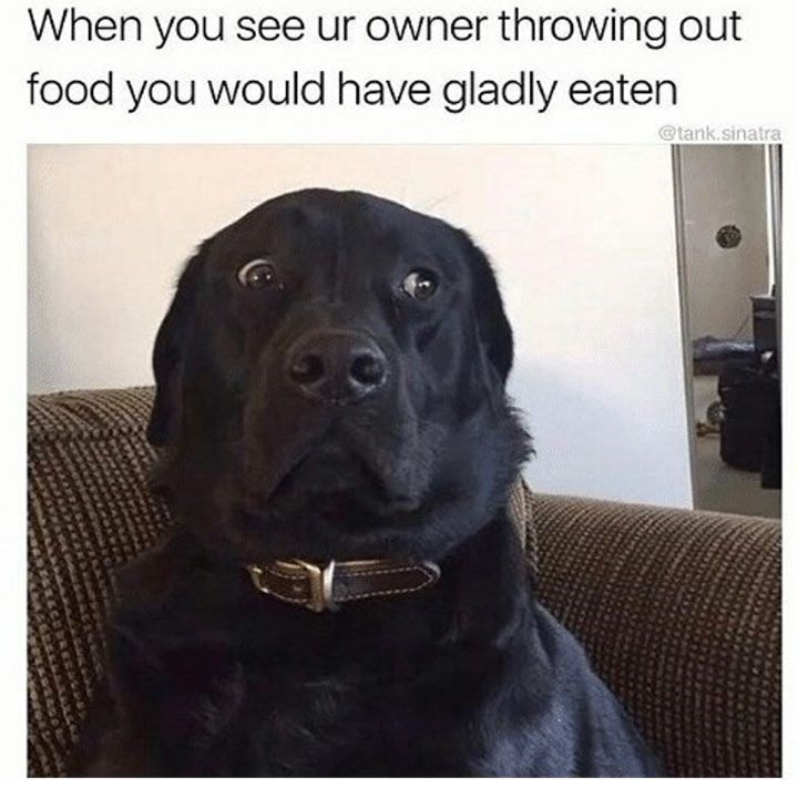 meme - Dog - When you see ur owner throwing out food you would have gladly eaten @tank.sinatra