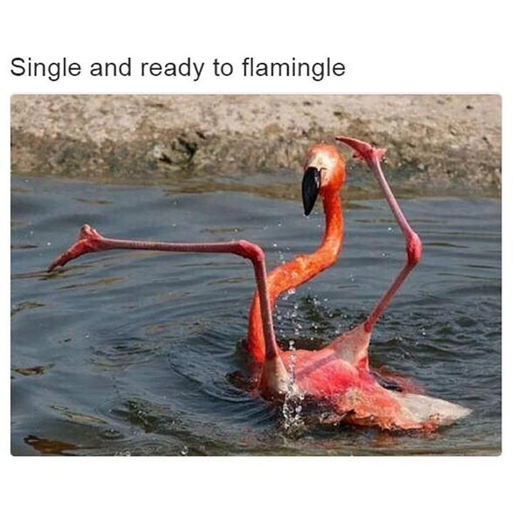 Greater flamingo - Single and ready to flamingle