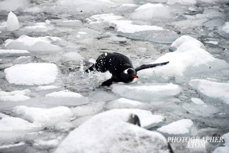 penguins - Arctic - PHOTOCРAРНER ATOM