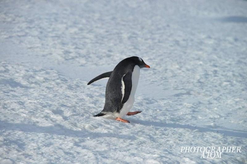 penguins - Penguin - PHOTOCRAPHER ATOM