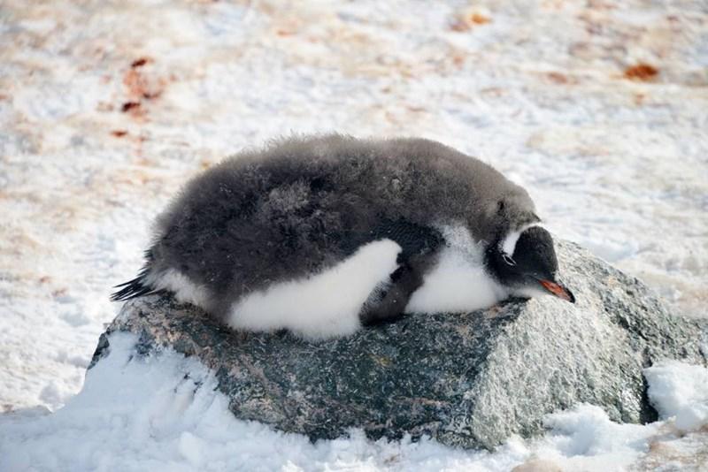 penguins - Bird
