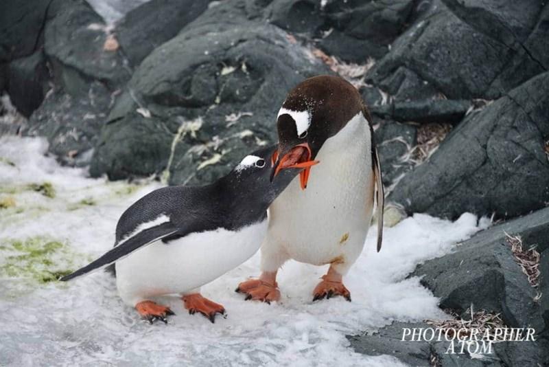 penguins - Bird - PHOTOGRARHER AIOM