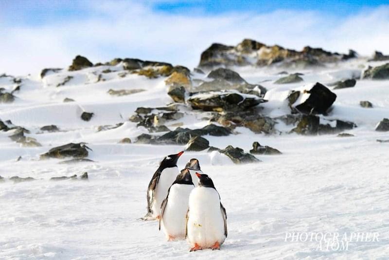 penguins - Flightless bird - PHOTOCRAPHER ATOM