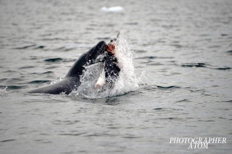 penguins - Marine mammal - PHOTOGRAPHER ΑΤΟΜ